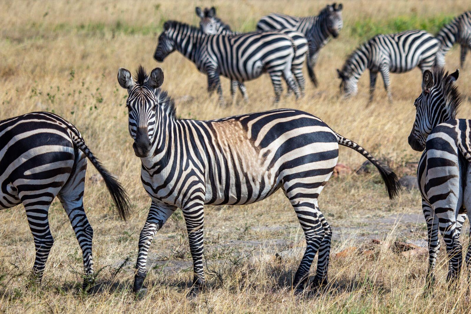 Las cebras con manchas y rayas atípicas podrían ser una advertencia sobre el futuro de la especie