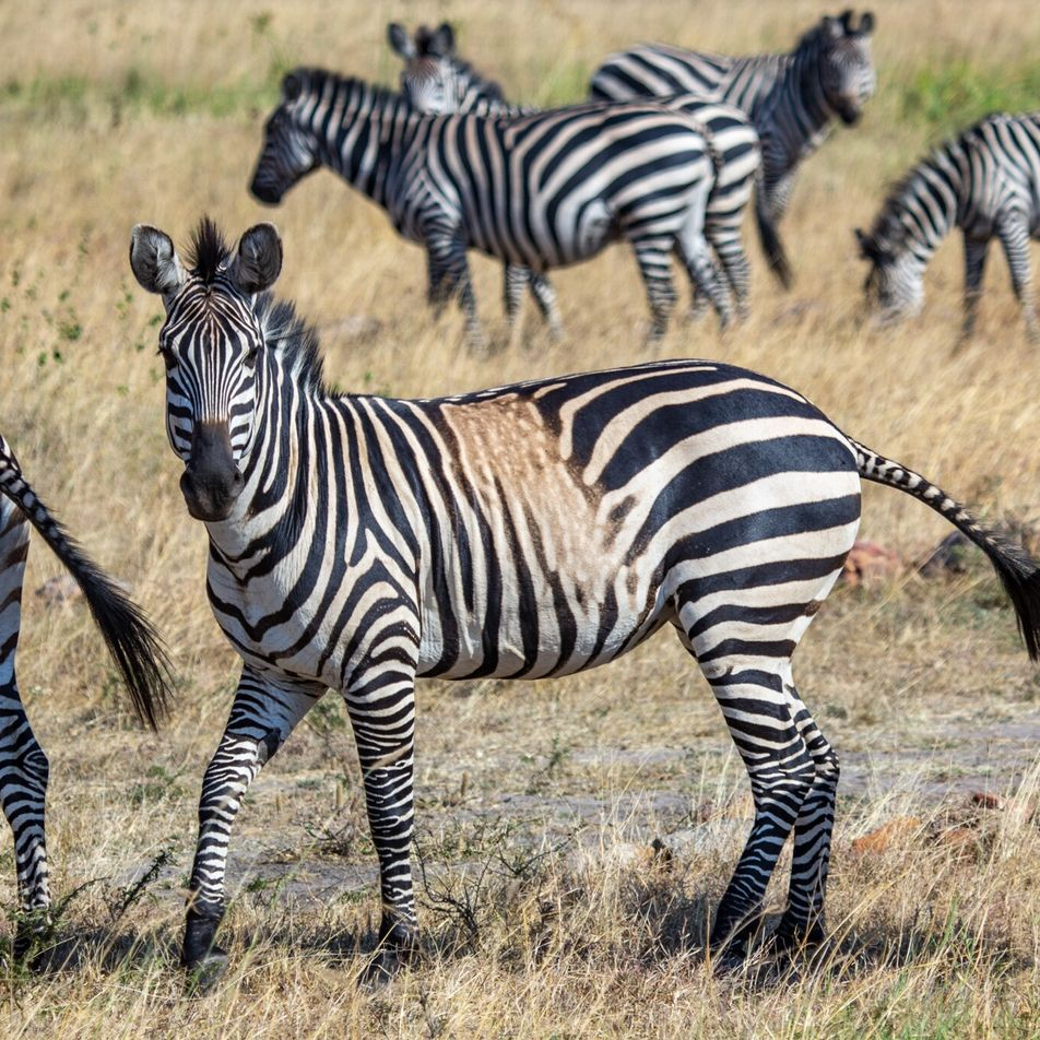 Las cebras con manchas y rayas atípicas podrían ser una advertencia sobre el futuro de la ...