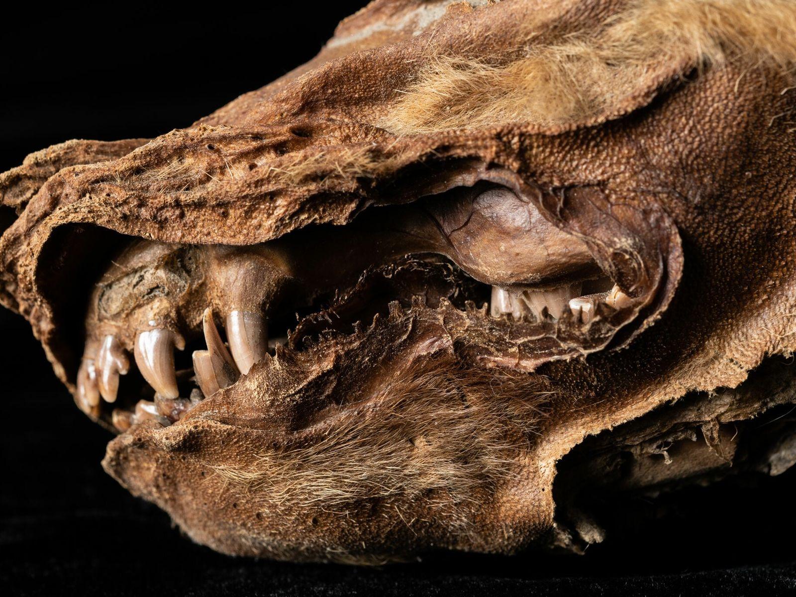 Cachorro de lobo conservado en el permafrost