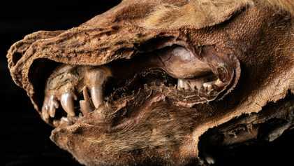 Descubren un cachorro de lobo de 57.000 años en el permafrost del Yukón